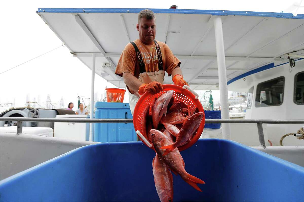 Garrett King, a deckhand on the commercial fishing boat Alice Mae, pours one of many baskets of Vermilion snapper from the ship's storage into a larger bin to have weighed on Thursday, Mar. 31, 2016. The boat was dropping off it's catch at Katie's Seafood Market located in Galveston, Texas. Commercial fishing boats like the Alice Mae and its operators are facing challenging times since the National Oceanic and Atmospheric Administration (NOAA), for the first time, issued regulations allowing industrial aquaculture in the ocean and especially in the Gulf of Mexico. Fish farming has been controversial and under study for years. Fish farms can have huge floating net cages beyond 3 miles offshore. Recently, a suit was filed in U.S. District Court in Eastern Louisiana to stop it. Two are fishing organizations in Texas, in the Galveston area. Worries are several: One is the economic impact of big outfits taking up to 64 million pounds of fish annually out of the Gulf. Another has to do with the environmental impacts of farming the ocean, including the various chemicals used to protect the fingerlings. There?'s also concern about escaped fish and genetic impacts; plaintiffs say there have been thousands of escapes from shore-side pens. On the other hand, factory trawlers are fast depleting the ocean. (Kin Man Hui/San Antonio Express-News)