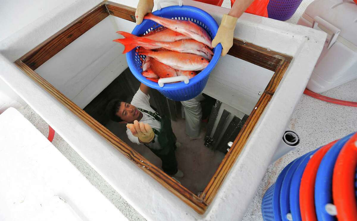 A deckhand on the commercial fishing boat Alice Mae named Darvin (no last name given) hands off one of many baskets of Vermilion snapper from the ship's storage on Thursday, Mar. 31, 2016. The boat was dropping off it's catch at Katie's Seafood Market located in Galveston, Texas. Commercial fishing boats like the Alice Mae and its operators are facing challenging times since the National Oceanic and Atmospheric Administration (NOAA), for the first time, issued regulations allowing industrial aquaculture in the ocean and especially in the Gulf of Mexico. Fish farming has been controversial and under study for years. Fish farms can have huge floating net cages beyond 3 miles offshore. Recently, a suit was filed in U.S. District Court in Eastern Louisiana to stop it. Two are fishing organizations in Texas, in the Galveston area. Worries are several: One is the economic impact of big outfits taking up to 64 million pounds of fish annually out of the Gulf. Another has to do with the environmental impacts of farming the ocean, including the various chemicals used to protect the fingerlings. There?'s also concern about escaped fish and genetic impacts; plaintiffs say there have been thousands of escapes from shore-side pens. On the other hand, factory trawlers are fast depleting the ocean.(Kin Man Hui/San Antonio Express-News)