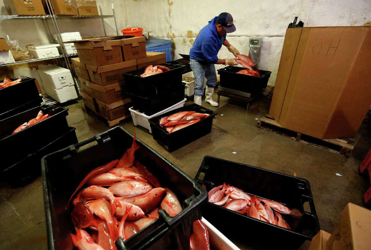 Katie's Seafood Market worker Reymundo Calvillo sorts out fish in the market's refrigeration room from a recent haul from Captain Billy Wright's commercial fishing boat, The Alice Mae, on Thursday, Mar. 31, 2016. Commercial fishing boats like the Alice Mae and operators like the Wrights are facing challenging times since the National Oceanic and Atmospheric Administration (NOAA), for the first time, issued regulations allowing industrial aquaculture in the ocean and especially in the Gulf of Mexico. Fish farming has been controversial and under study for years. Fish farms can have huge floating net cages beyond 3 miles offshore. Recently, a suit was filed in U.S. District Court in Eastern Louisiana to stop it. Two are fishing organizations in Texas, in the Galveston area. Worries are several: One is the economic impact of big outfits taking up to 64 million pounds of fish annually out of the Gulf. Another has to do with the environmental impacts of farming the ocean, including the various chemicals used to protect the fingerlings. There?'s also concern about escaped fish and genetic impacts; plaintiffs say there have been thousands of escapes from shore-side pens. On the other hand, factory trawlers are fast depleting the ocean.(Kin Man Hui/San Antonio Express-News)