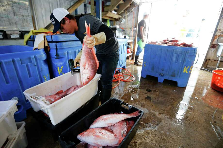 Worker Jose Miguel Monzon tags red snapper recently caught in the Gulf of Mexico at Katie's Seafood Market in Galveston. Photo: Kin Man Hui, Staff / ©2016 San Antonio Express-News