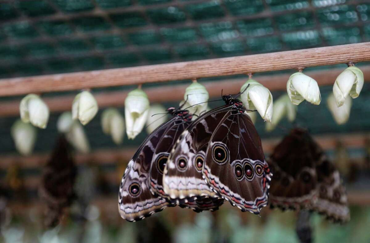 Butterflies emerge from their cocoons during an exhibition of tropical butterflies at the botanical garden in Prague, Czech Republic, Tuesday, April 5, 2016.