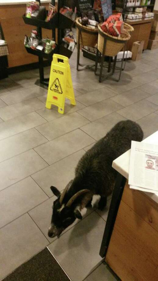 A goat wandered into a Rohnert Park Starbucks on Sunday morning. Photo: City Of Rohnert Park Police & Fire