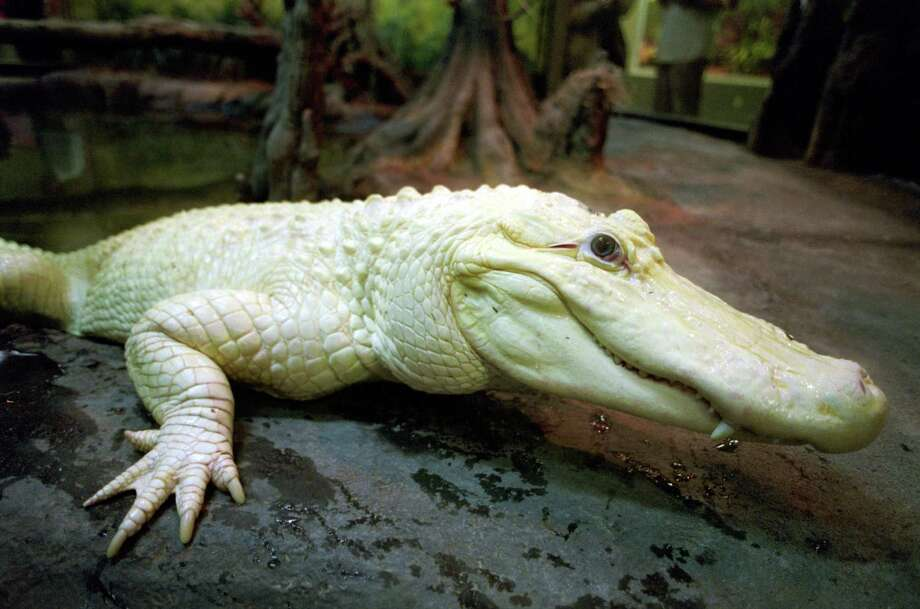 Blanco, a rare white alligator, has moved from the Houston Zoo to the Crocodile Encounter complex near Angleton. Photo: Steve Ueckert, Staff / Houston Chronicle