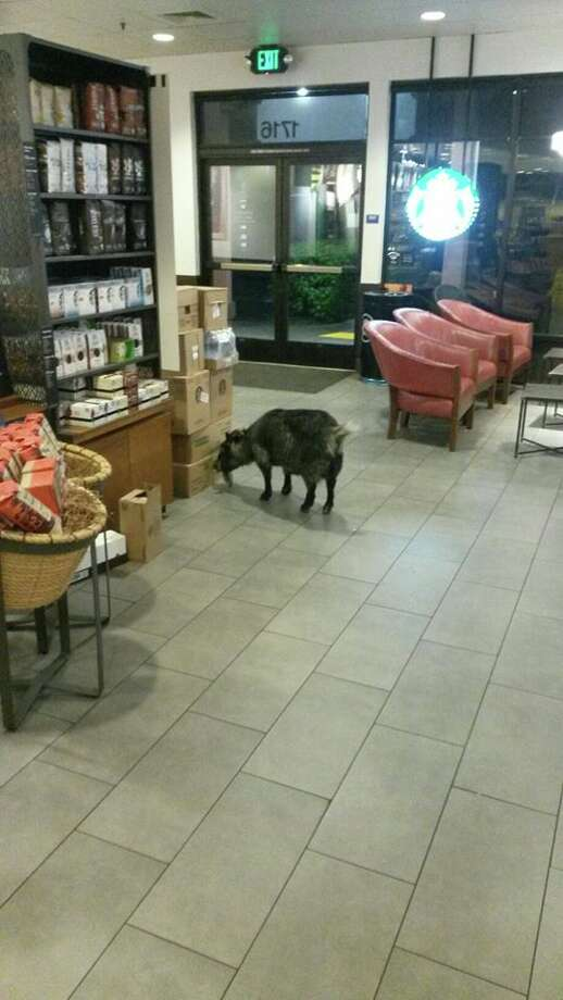 Millie the goat checks out a cardboard box at a Rohnert Park Starbucks she wandered into on Sunday. She was reunited with her family after police dropped off the wayward goat at a local shelter.