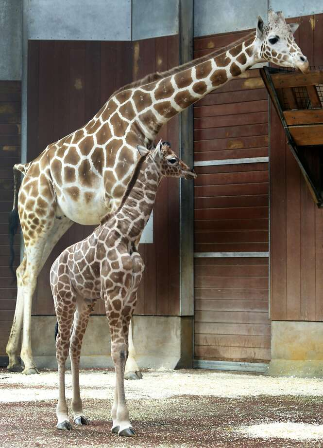 A baby female giraffe spends quiet time with her mother, Barbro, inside the Bernard Osher Foundation Giraffe Barn at the San Francisco Zoo. Photo: Paul Chinn, The Chronicle