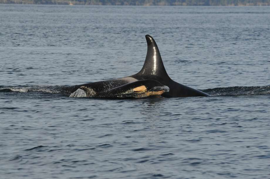 """Pictured are J16 and J50 (female calf, first photographed 12/30/2014) from the southern resident killer whale community. Wikipedia summary: """"The smallest of four resident communities within the Northwestern portion of North America Pacific Ocean. It is the only killer whale population listed as endangered by the U.S. Fish & Wildlife Service."""" (Photo courtesy of the Center for Whale Research)"""
