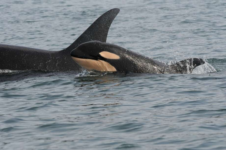 "Pictured are J36 and J52 (male calf, 03/30/2015) from the southern resident killer whale community. Wikipedia summary: ""The smallest of four resident communities within the Northwestern portion of North America Pacific Ocean. It is the only killer whale population listed as endangered by the U.S. Fish & Wildlife Service.""  (Photo courtesy of the Center for Whale Research)"