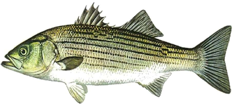 Striped Bass Eating Food