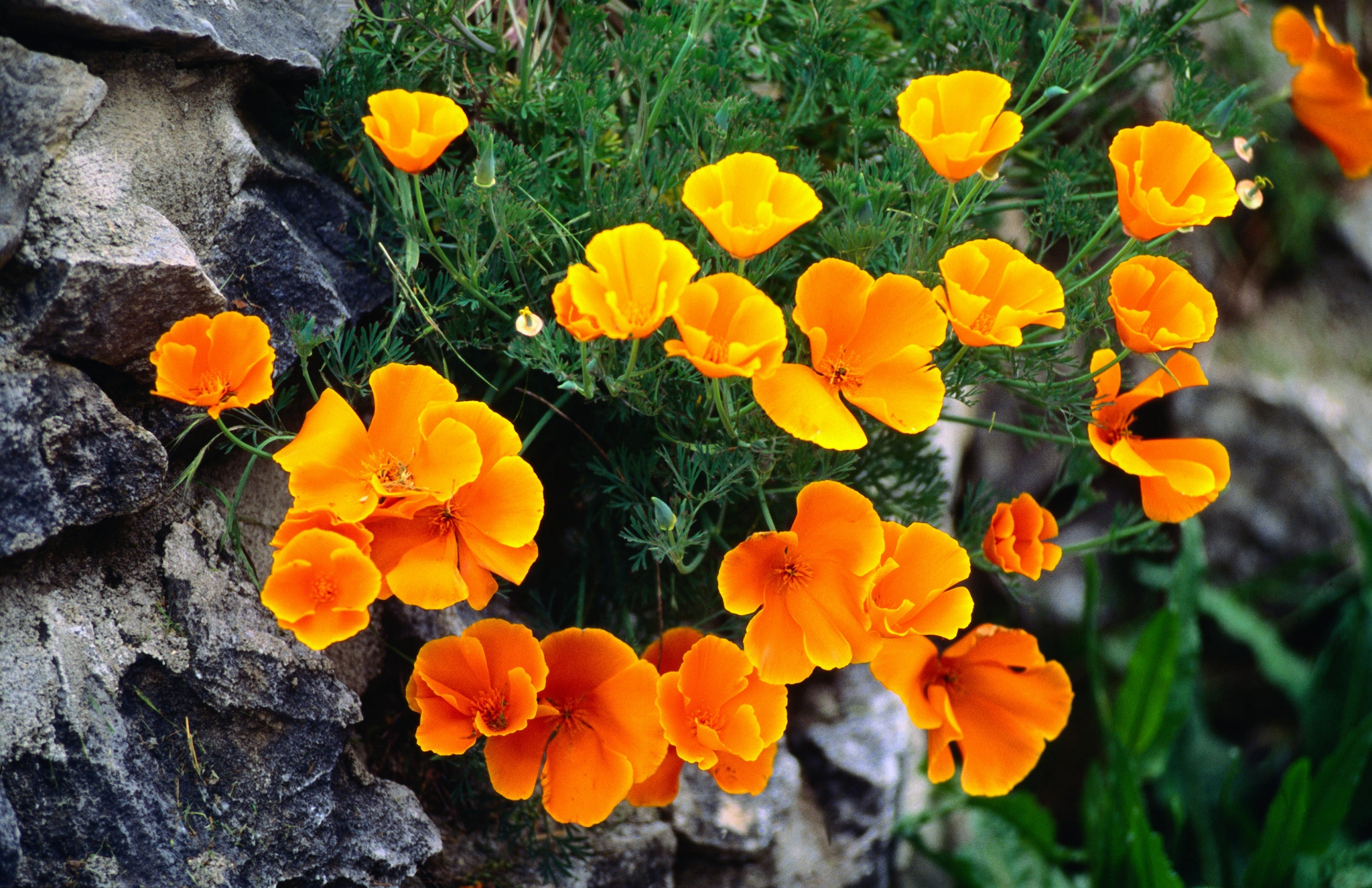 Its Been Legal To Pick California Golden Poppies This Whole Time