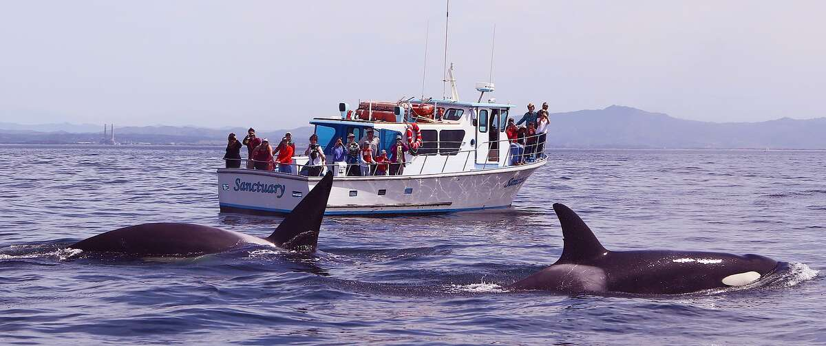 Two orcas put on a show, emerging between a small boat with the photographer and the whale-watching boat Sanctuary out of Moss Landing. The exact site was six miles offshore Elkhorn Slough in Monterey Bay.