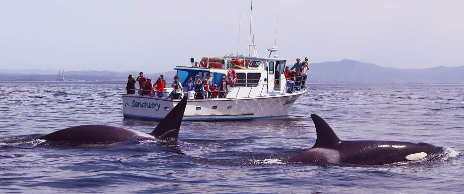 Two orcas put on a show, emerging between a small boat with the photographer and the whale-watching boat Sanctuary out of Moss Landing. The exact site was six miles offshore Elkhorn Slough in Monterey Bay. Photo: Giancarlo Thomae / Sanctuary Cruises / Giancarlo Thomae / Sanctuary Cruises