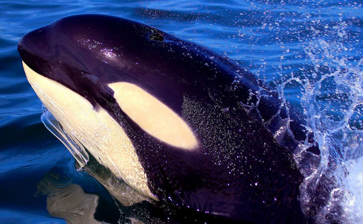 Orca spyhop: A giant orca surfaces five feet from small boat with photographer and appears to squint in the bright sun. This occurred in Monterey Bay, six miles offshore Elkhorn Slough and Moss Landing.