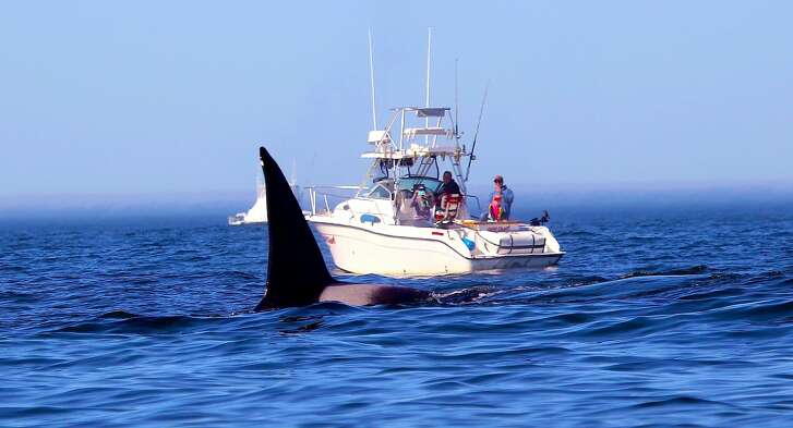 The massive dorsal fin from a bull orca juts skyward and appears to dwarf a family in a boat on Monterey Bay; 20 orcas are believed to have migrated to Monterey Bay's Submarine Canyon near Moss Landing to attack and feed on gray whale calves.