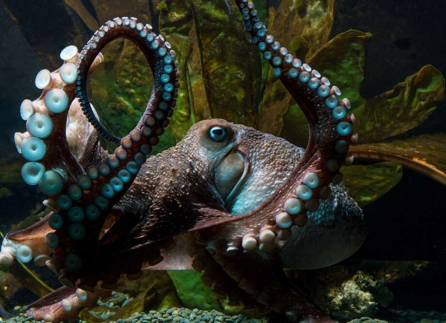 Inky the octopus at the National Aquarium of New Zealand.Click through to see some of the world's funniest animal photos.  Photo: National Aquarium Of New Zealand