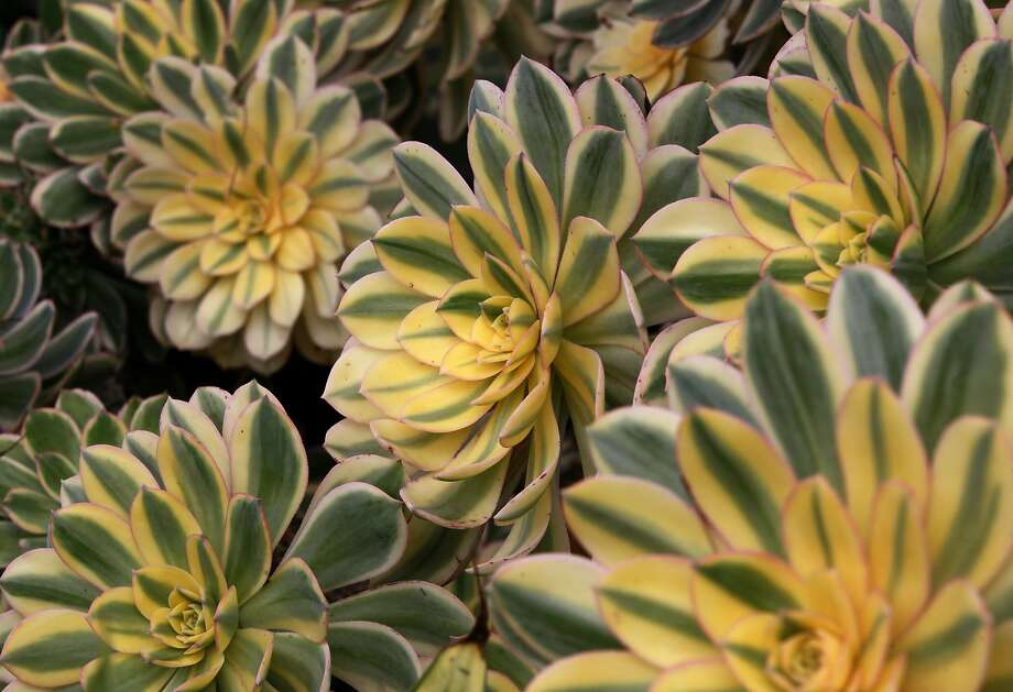 Aeonium decorum 'Sunburst.' Photo: Paul Chinn, The Chronicle