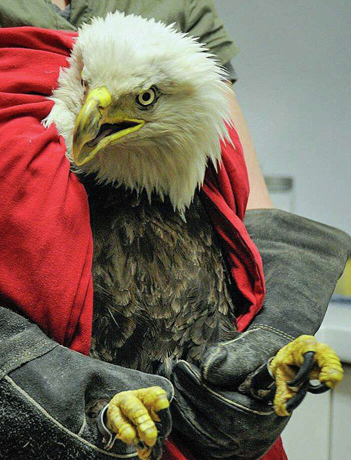 A bald eagle is recovering at Audubon Sharon after it was found face down at the Thomaston Dam on the Naugatuck River on April 1, 2016. Blood work showed it had three three toxins in its body. Photo: Audubon Sharon