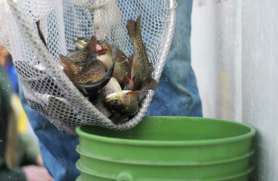 Rainbow trout are placed into a bucket before being dumped in the water at Six Mile Waterworks on Monday, April 1, 2013 in Albany, NY.  DEC staff stocked the lake with nearly 2,000 rainbow trout on Monday.  DEC staff also gave lessons on casting and about fishing in general.  (Paul Buckowski / Times Union) Photo: Paul Buckowski / 10021792A