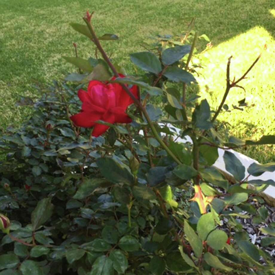 Neil Sperry: Keep Checking Knockout Roses For Rosette