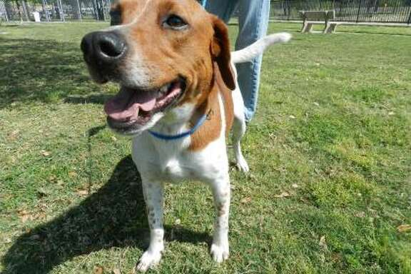 Toby will be available for adoption at 11 a.m. Friday at Citizens for Animal Protection, 17555 Interstate 10 W. More information: cap4pets.org or 281-497-0591.