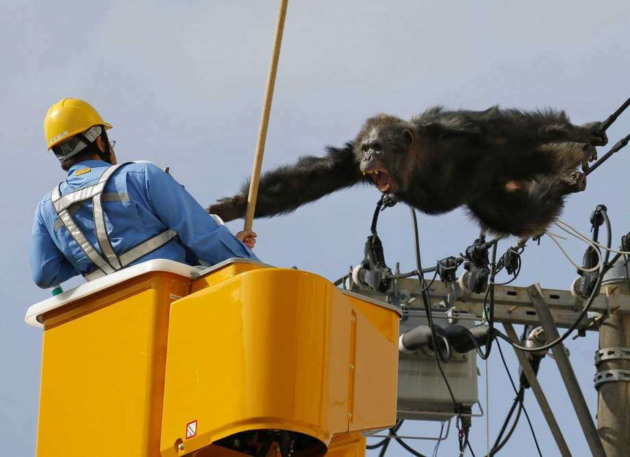 Chacha, a 24-year-old male chimp, screams at a worker in Sendai, northern Japan, 