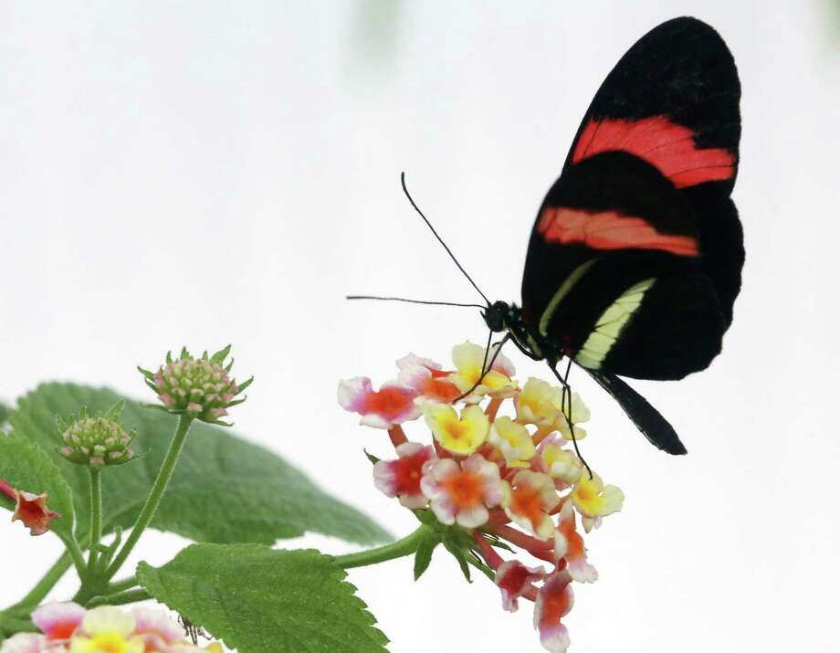 A free workshop on attracting butterflies to pollinate your garden is scheduled Saturday at Enchanted Forest and Enchanted Gardens nurseries in Richmond. Photo: ROLAND WEIHRAUCH, Stringer / DPA