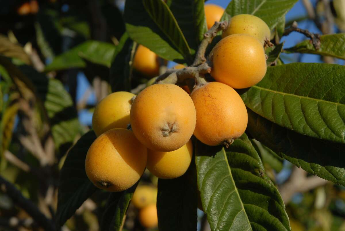 Bite-size loquats make a good snack or tasty jelly. Nispero or Loquat, fruit on tree.