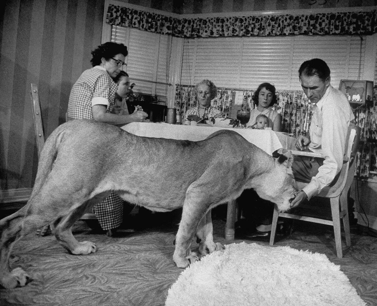 Blondie, the pet lion, daintily taking meat tidbits from the hand of her owner Charles Hipp as he sits a dinner table w. his wife (L), daughter Charlene, his mother (C) & daughter Mrs. Juanita Evans (2R), holding his baby granddaughter Karen, at home. (Photo by Joseph Scherschel/The LIFE Picture Collection/Getty Images)