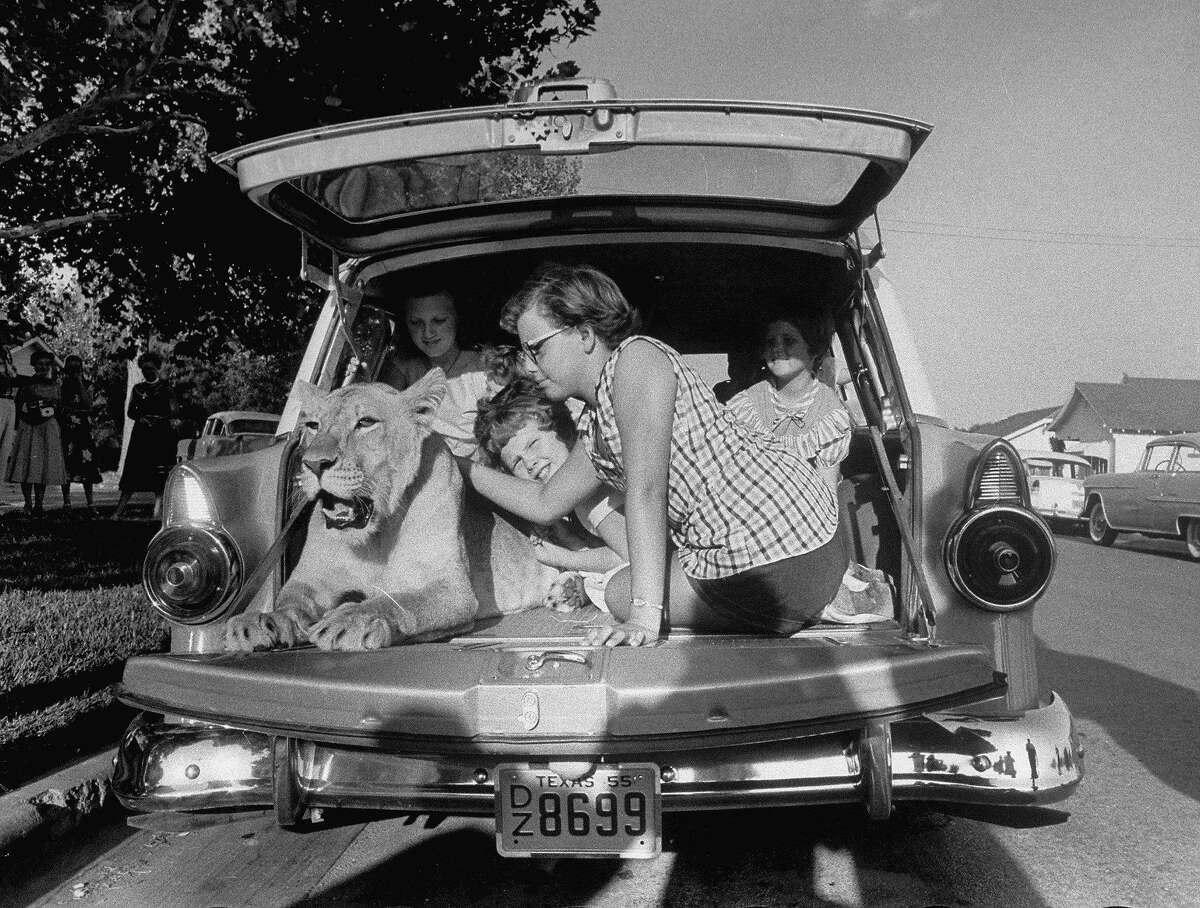 Blondie, the pet lion, happily being petted by her neighbor friend Jane Johnson (R), 11, as other kids look on, in the back of Charles Hipp's station wagon, parked in front of his house. (Photo by Joseph Scherschel/The LIFE Picture Collection/Getty Images)