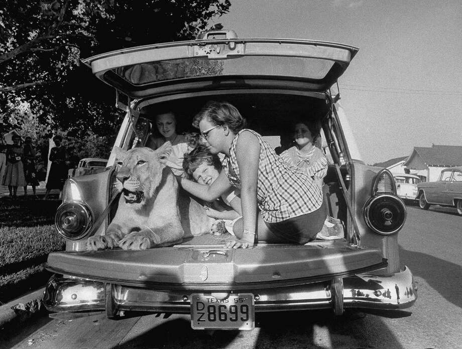Blondie, the pet lion, happily being petted by her neighbor friend Jane Johnson (R), 11, as other kids look on, in the back of Charles Hipp's station wagon, parked in front of his house.  (Photo by Joseph Scherschel/The LIFE Picture Collection/Getty Images) Photo: Joseph Scherschel, The LIFE Picture Collection/Gett