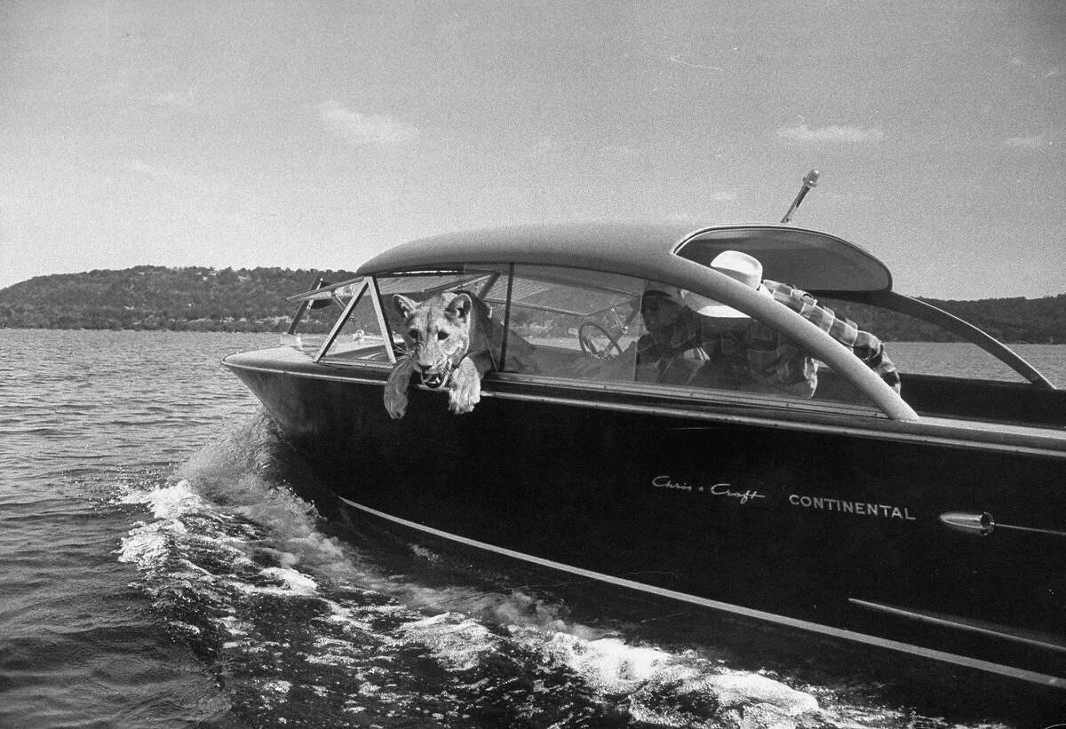 Blondie, the pet lion, fascinated by the water as she takes her first ride in a Chris Craft Continental inboard motorboat w. owner Charles Hipp (R) who is making sure she doesn't have designs on taking a swim, on Possum Kingdom Lake. (Photo by Joseph Scherschel/The LIFE Picture Collection/Getty Images)