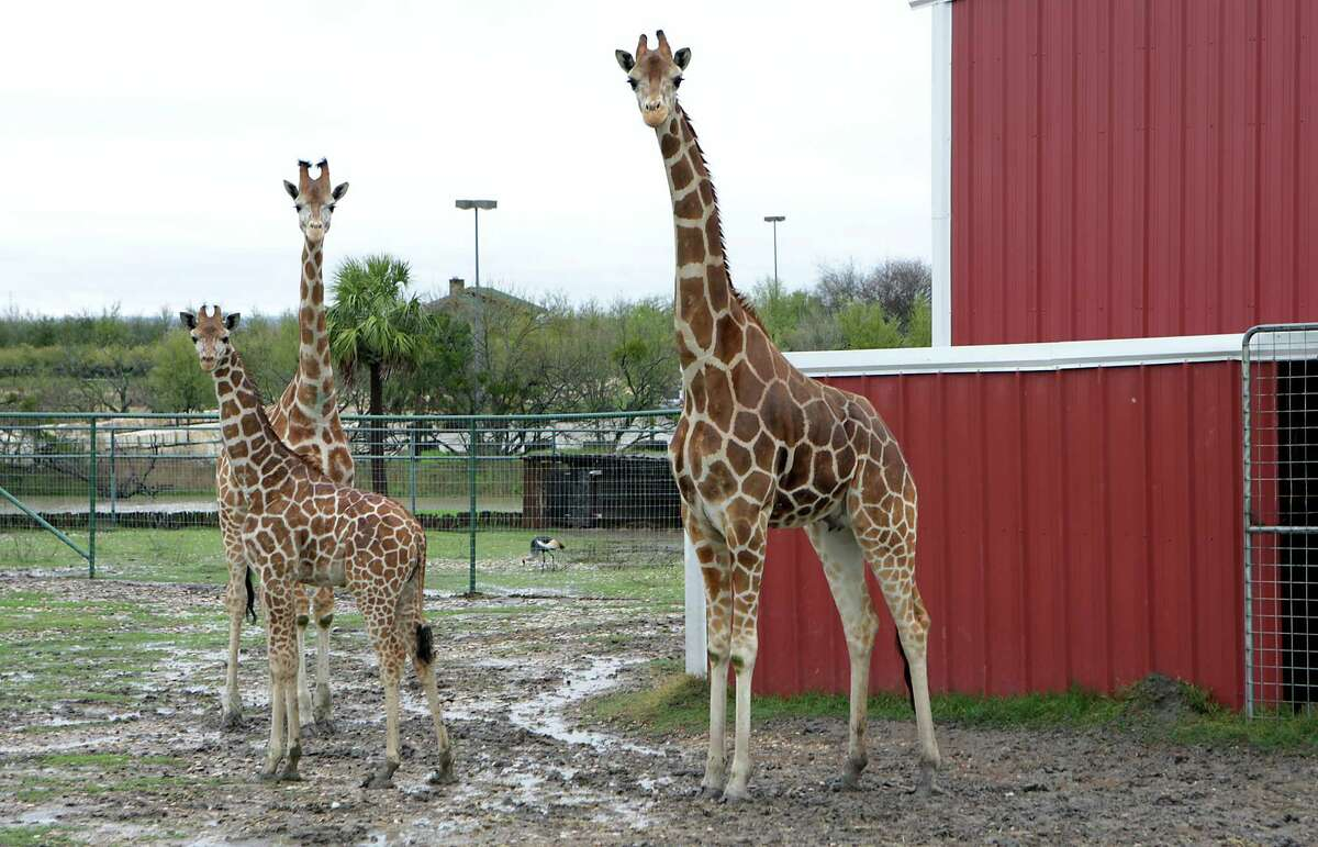 Reticulated giraffes observe visitors at Texas Disposal Systems' landfill in Creedmoor just south of Austin.