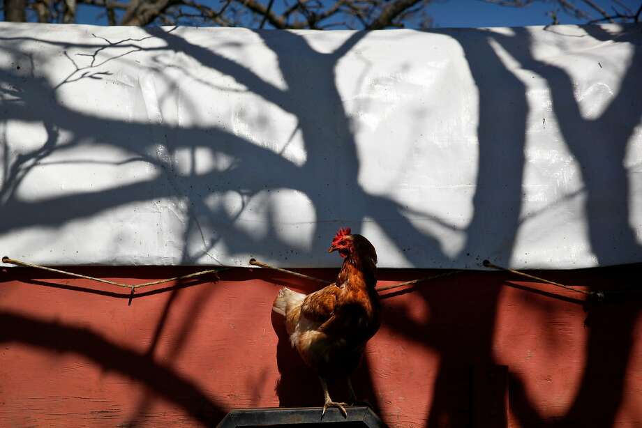 Chickens at Preston Farm and Winery in Healdsburg, Calif., on Monday, April 4, 2016. Photo: Preston Gannaway/GRAIN