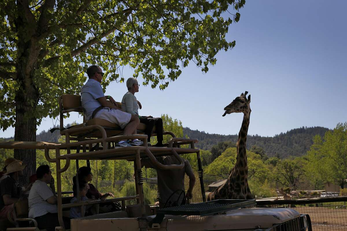 Guests check out a giraffe from a truck at Safari West in Santa Rosa, Calif., on Wednesday, April 6, 2015.