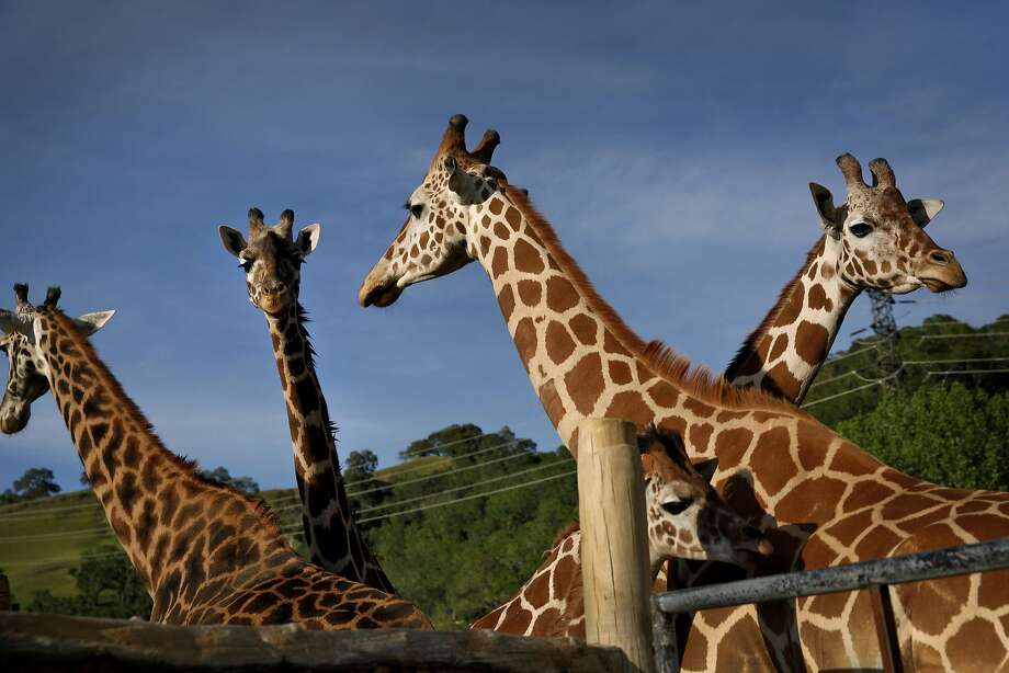 Giraffes at Safari West in Santa Rosa, Calif., on Wednesday, April 6, 2015. The privately owned preserve and zoo spans 400 acres that they call the 'Sonoma Serengeti.' Photo: Preston Gannaway, GRAIN/Special To The Chronicle