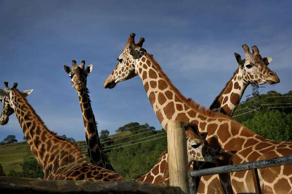 Giraffes at Safari West in Santa Rosa, Calif., on Wednesday, April 6, 2015. The privately owned preserve and zoo spans 400 acres that they call the 'Sonoma Serengeti.'