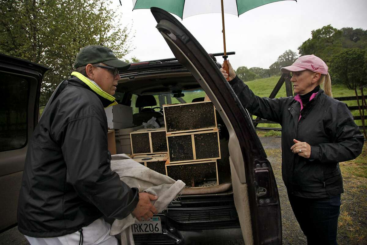 Deborah Turner (right) tries to keep rain off Mike Turner as he moves bees to new hives at Jordan Winery in Healdsburg, Calif., on Saturday, April 9, 2015. Once the bees are there, they'll return to collect honey and check on them about twice a month.