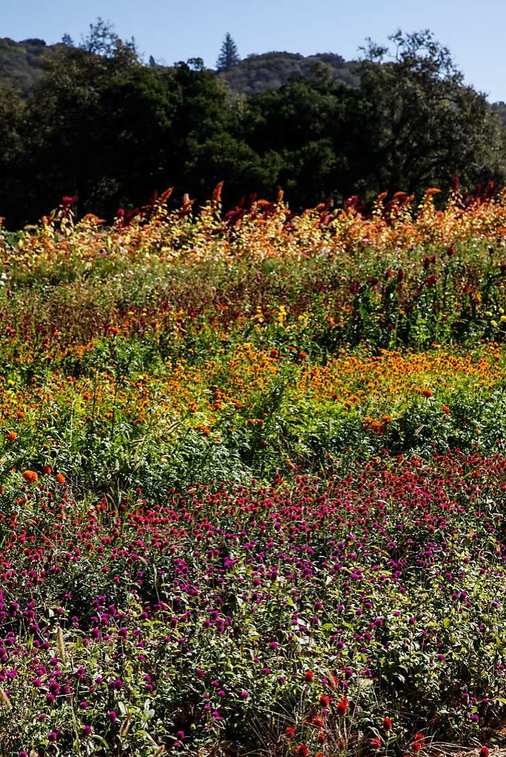 Flowers sold at the Red Barn Store are grown on the property in Glen Ellen, Calif., on Thursday, October 22, 2015.