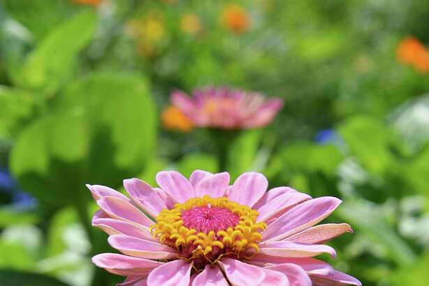 A Zinnia in bloom at Capital District Community Gardens' new community garden in Schenectady?s Steinmetz Park Wednesday Aug. 1, 2012.    (John Carl D'Annibale / Times Union)