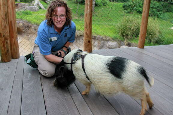 "The Houston  Zoo's Amy Lavergne with ""Winston,"" a Juliana pig"