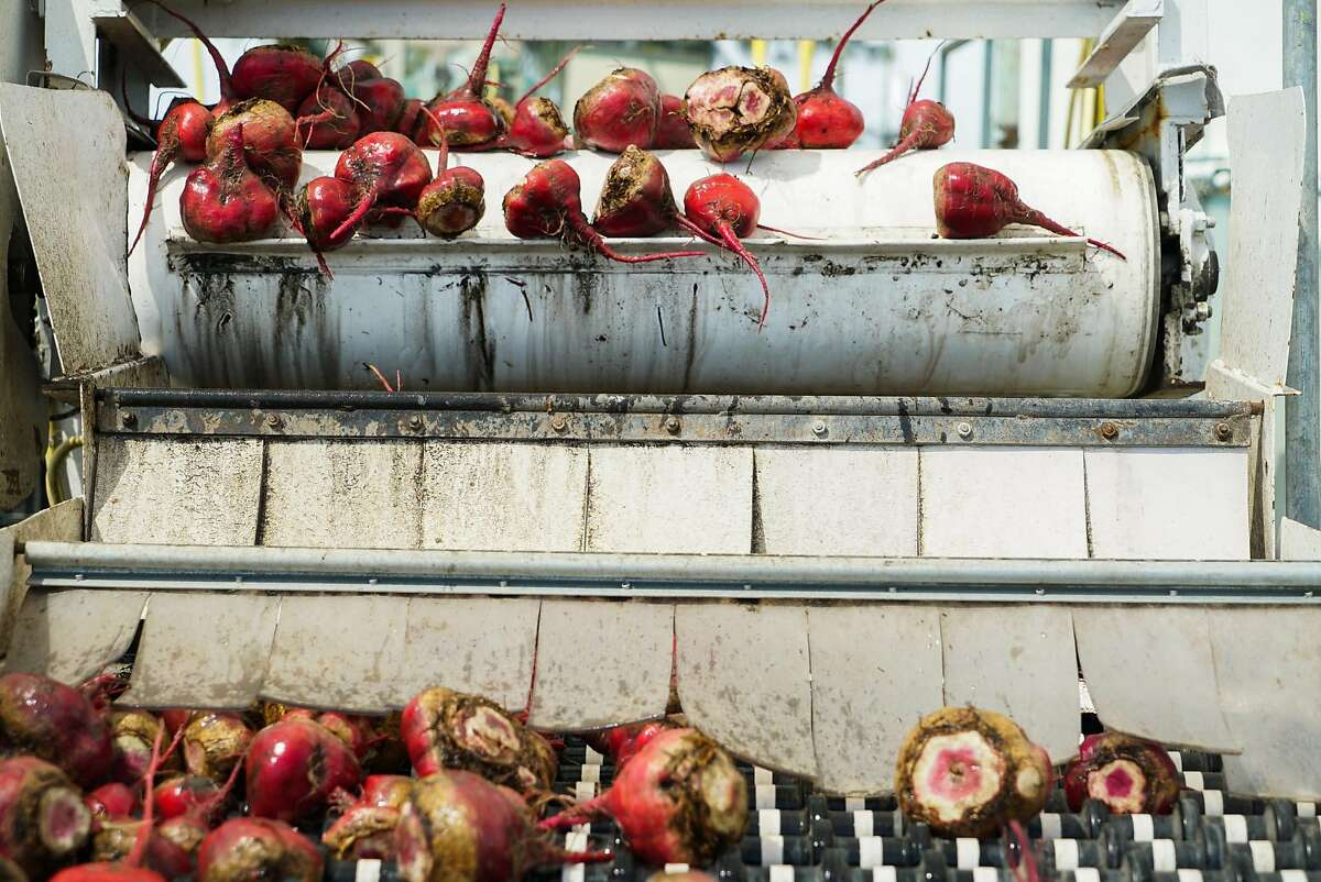 A mix of imperfect and regular beets are washed at Coke Farms in San Juan Bautista.