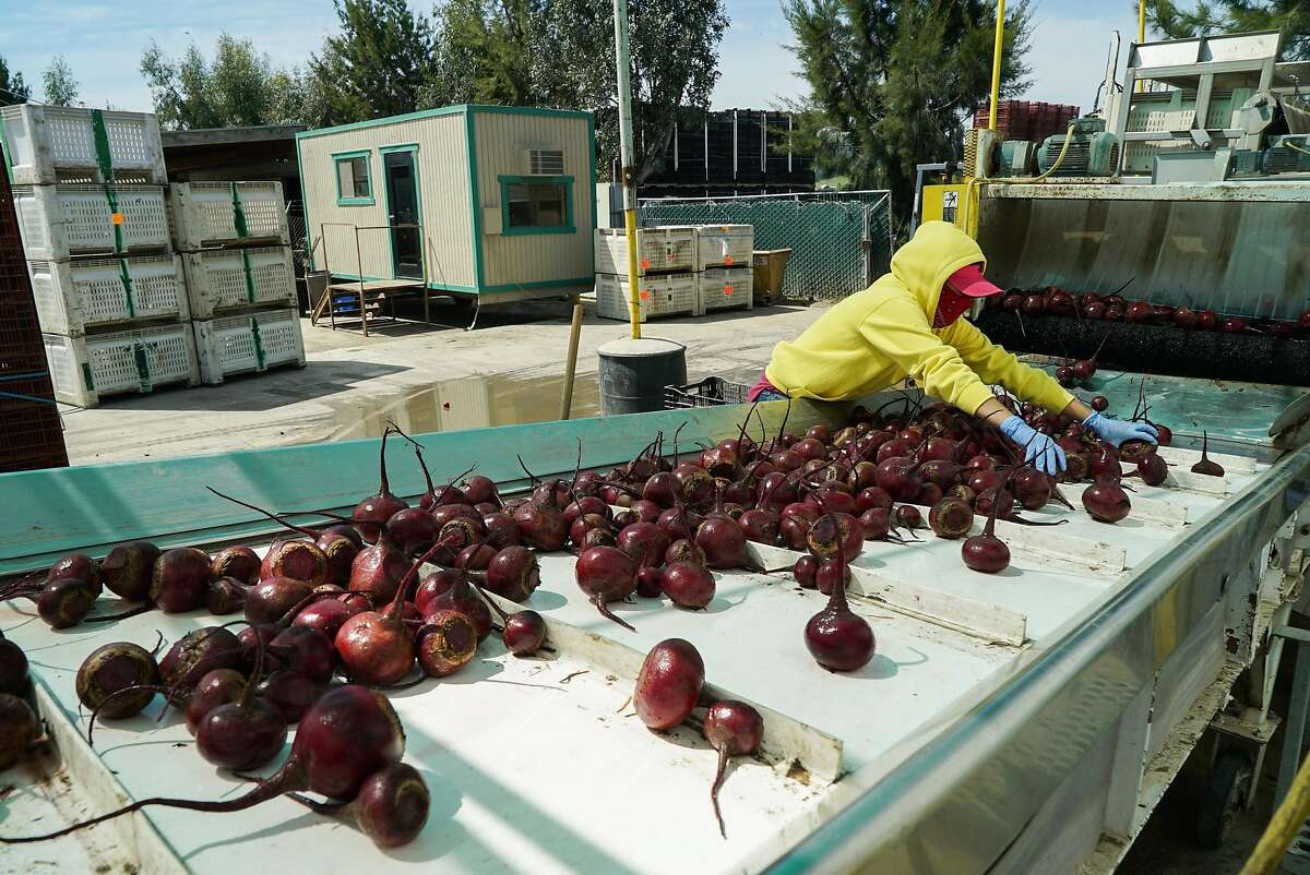 A worker sorts imperfect and regular beets at Coke Farms in San Juan Bautista, Calif. on Tuesday, April 19, 2016. Food companies are finding buyers for their imperfect fruits and vegetables that would otherwise go to waste.