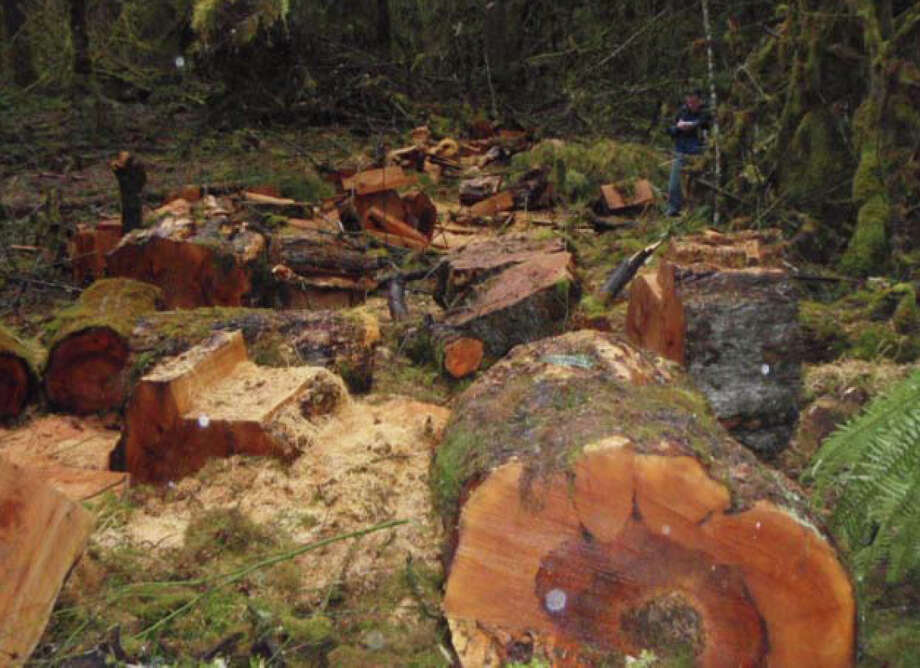 An old-growth theft site in the Gifford Pinchot National Forest in southwest Washington is pictured in a U.S. Forest Service photo. Photo: Justice Department