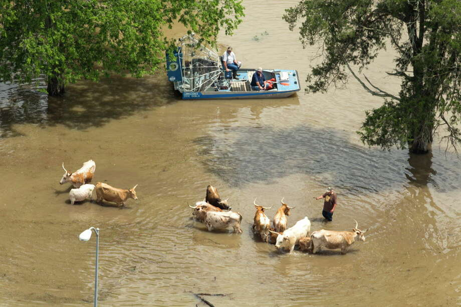 Cattle are herded to higher ground near Bear Creek Park inundated by floodwaters on Tuesday, April 19, 2016, in Houston. Photo: Brett Coomer, Houston Chronicle / © 2016 Houston Chronicle