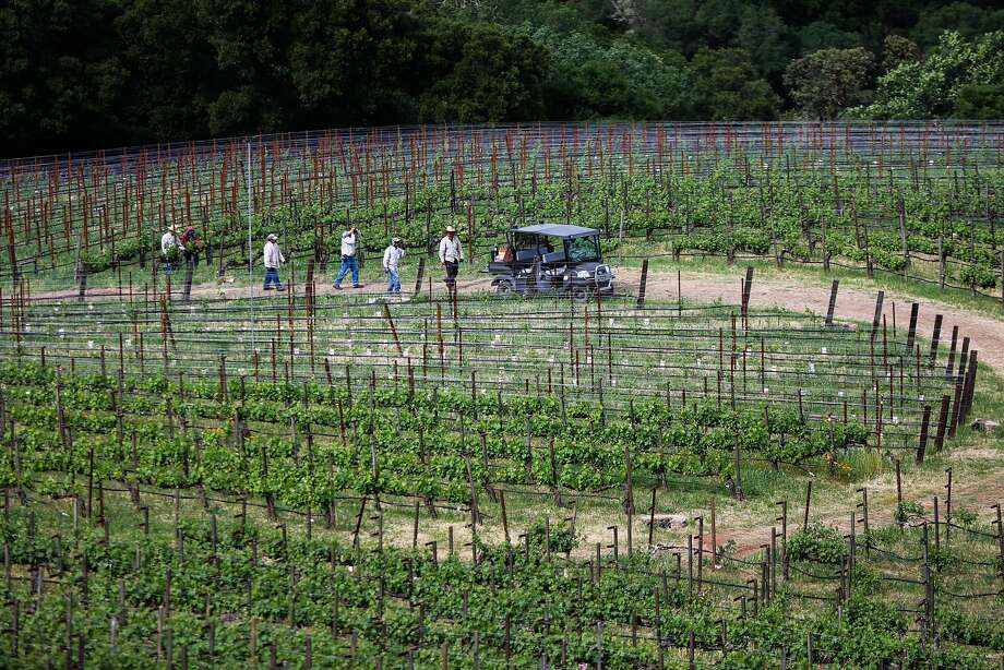 Field workers are seen in the late afternoon at Harlan Estate in Napa. Photo: Gabrielle Lurie, Special To The Chronicle