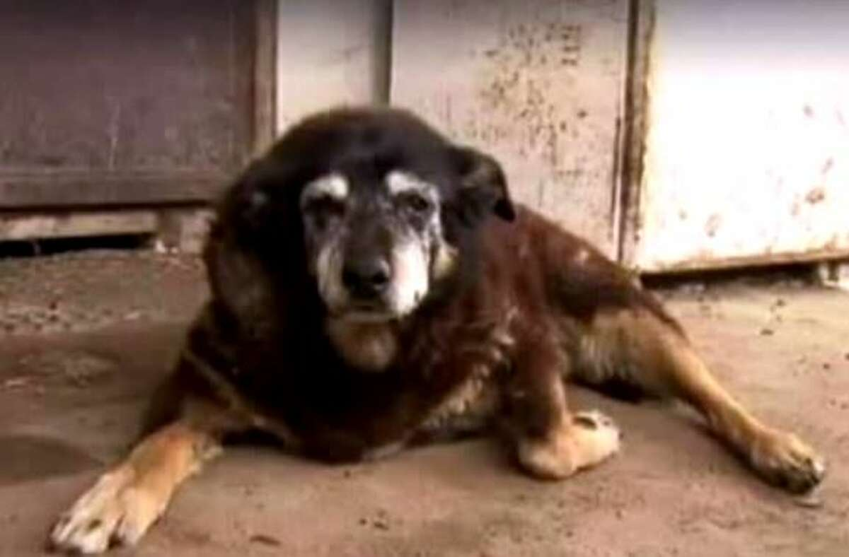Maggie, a Kelpie in Australia known as one potentially the oldest dog in the world, died at the age of 30 on April 16, 2016.