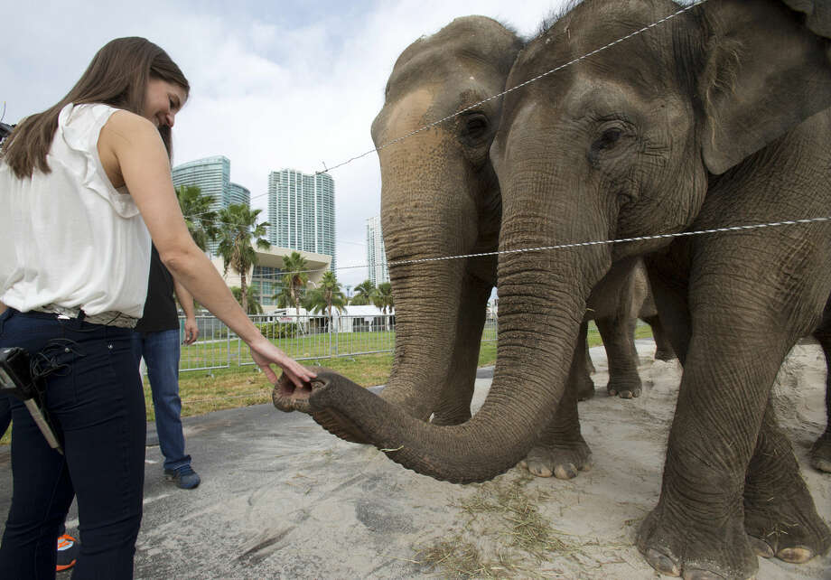 In this Friday, Jan. 8, 2016 photo, Alana Feld, Ringling Bros. and Barnum & Bailey Circus' executive vice president and show producer, interacts with Asian elephants outside the American Airlines Arena in Miami. Feld owns the largest herd of Asian elephants in North America. (AP Photo/Wilfredo Lee) Photo: Wilfredo Lee