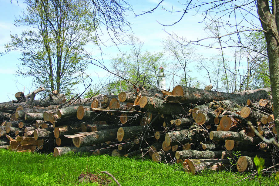 A pile of downed ash trees is at the edge of a wooded area Wednesday inside Lighthouse County Park. Photo: Chris Aldridge/Huron Daily Tribune