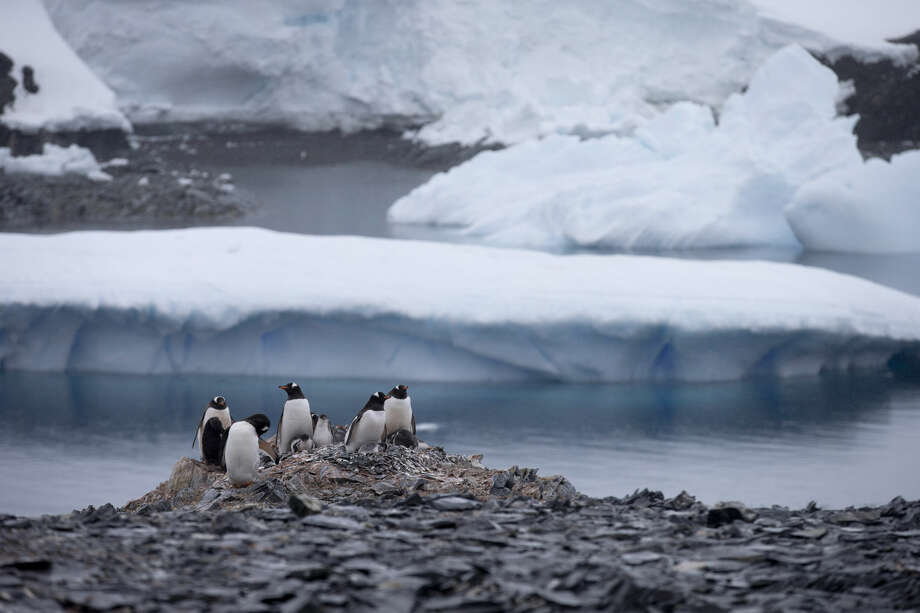 FILE - In this Jan. 22, 2015 file photo, Gentoo penguins stand on rocks near the Chilean station Bernardo O'Higgins, Antarctica. A scientific study released in Feb. 2016 says an estimated 150,000 Adelie penguins have died in Cape Denison, Antarctica in the five years since a giant iceberg blocked their main access to food. (AP Photo/Natacha Pisarenko, File) Photo: Natacha Pisarenko