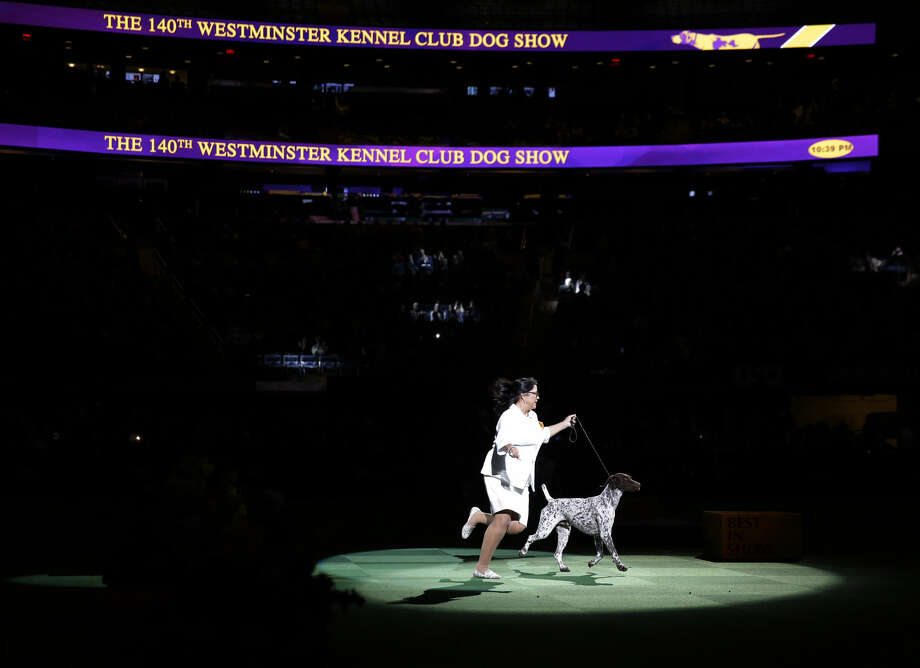 CJ, a German shorthaired pointer, and Valerie Nunes-Atkinson take a lap around the ring during the best in show competition at the 140th Westminster Kennel Club dog show, Tuesday, Feb. 16, 2016, at Madison Square Garden in New York. CJ won best in show. (AP Photo/Seth Wenig) Photo: Seth Wenig