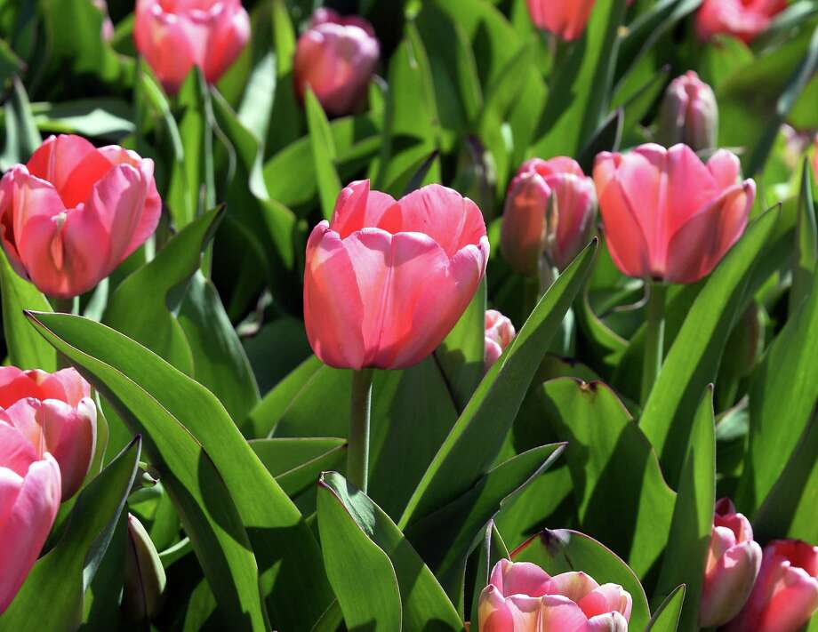 Pink Impression tulips in bloom at Washington Park Wednesday April 20, 2016 in Albany, NY.  (John Carl D'Annibale / Times Union) Photo: John Carl D'Annibale